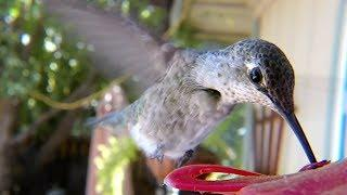 GoPro Awards: Hummingbirds with Macro Lens