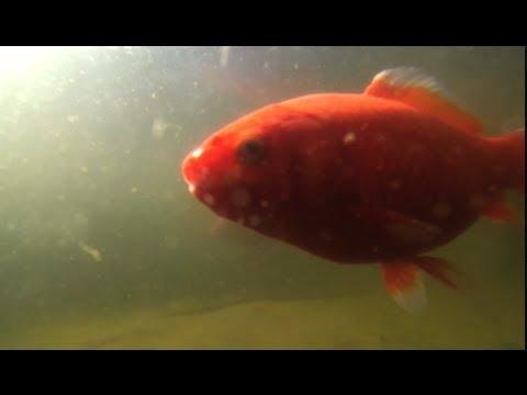 GoPro Tip #46 Take Your GoPro To A Fishpond (4K)