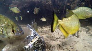 GoPro: Cristian Dimitrius Swims with Piranhas