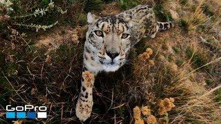 GoPro: Snow Leopard Meets MAX in 4K