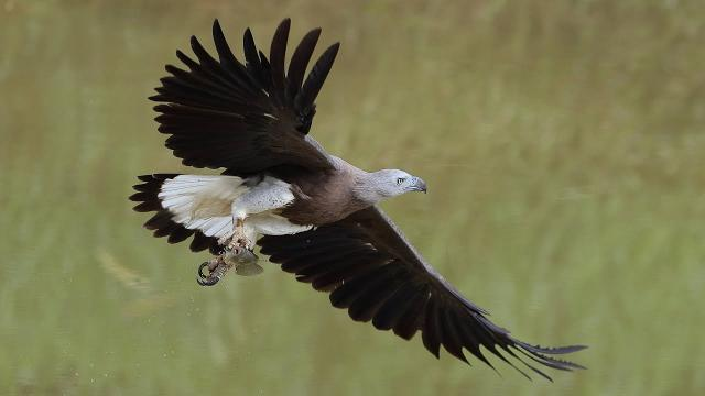 Grey Head Fish Eagle in action - 20fps!